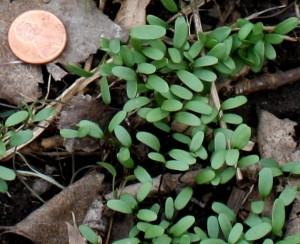 garlic mustard seedlings